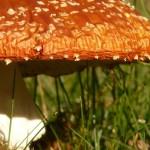 Všechny houby jsou jedlé, ale některé jen jednou